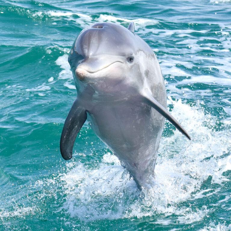 Mandurah dolphin